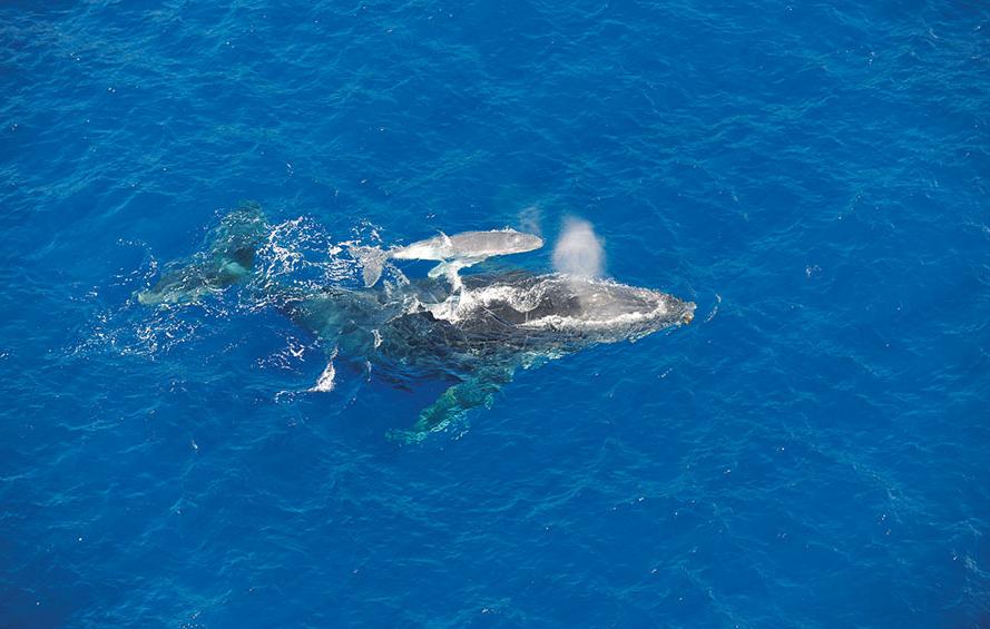 Baleine à La Réunion